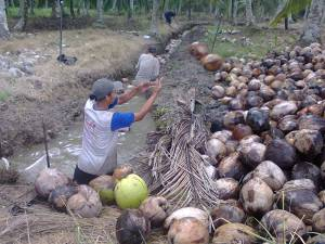 panen kelapa buat bikin kopra